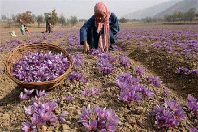 خریداری 765تن زعفران از کشاورزان خراسان شمالی، بخشی از مطالبات زعفران کاران استان پرداخت شد