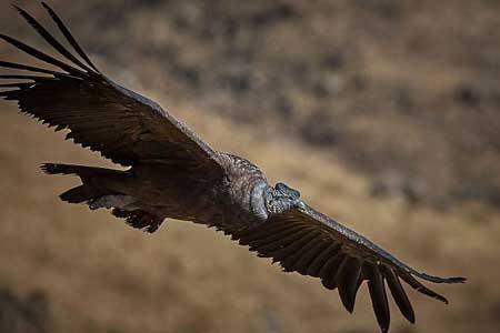 پرنده ای که 160 کیلومتر را بدون بال زدن می پیماید !