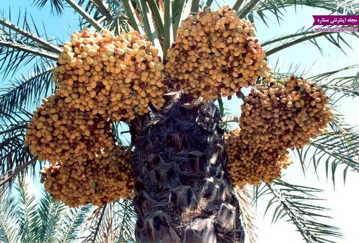 رطب چینی؛ گذران بوشهری ها در تابستان